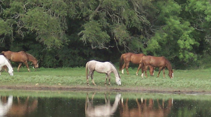 Horses_Near_tank_long.jpg