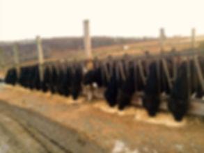 Cattle%202015%202_edited.jpg