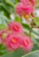 Beautiful Deep pink powder puff flowers