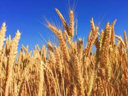 Descubra como o trigo, o alimento mais consumido do mundo conquistou o mercado cervejeiro