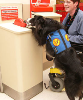 Fin, a black and white collie service dog wearing a blue cape, retrieves a ticket from a counter, a woman in a wheelchair is next to him