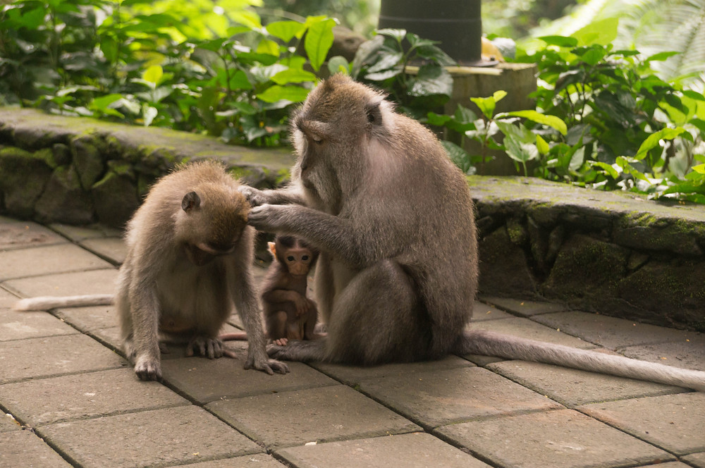 A monkey picks bugs off another, with a baby between them. Mandala Suci Wenara Wana, the Sacred Monkey Forest Sanctuary in Ubud, is a temple that is home to many Balinese long-tailed monkeys.