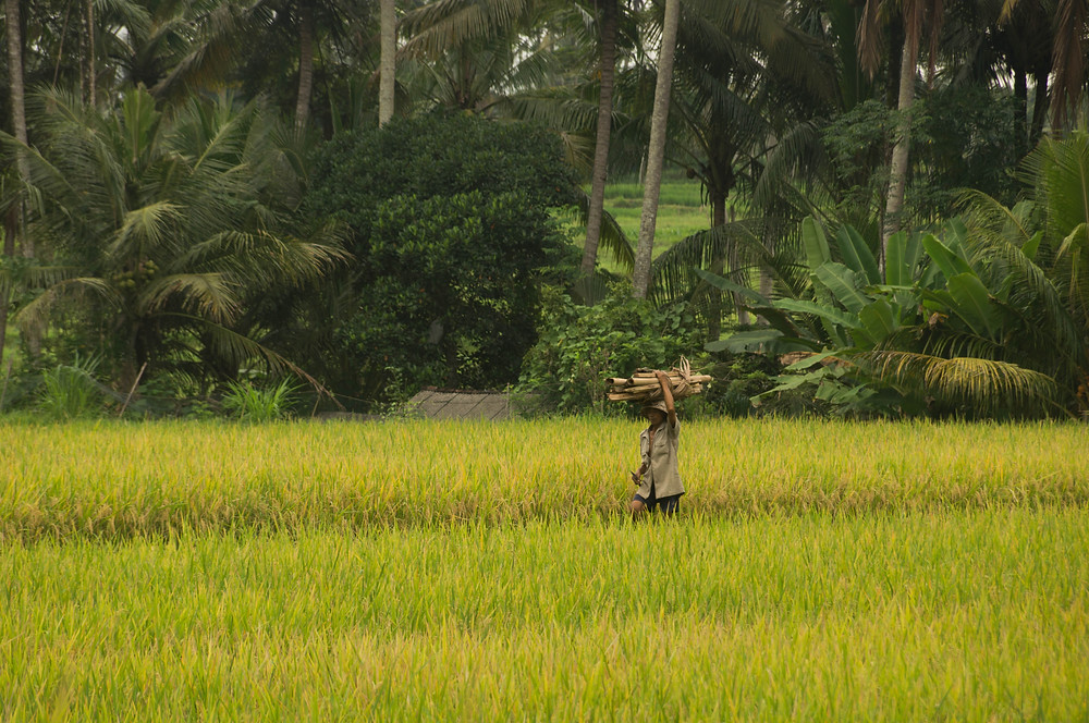 A man carries wood atop his head as he walks through the field. Most houses in the area are surrounded with large rice paddies.