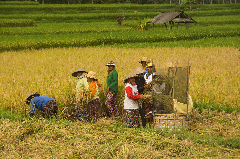 In the heat, women harvest rice and beat the stalks to shake off the rice grains.