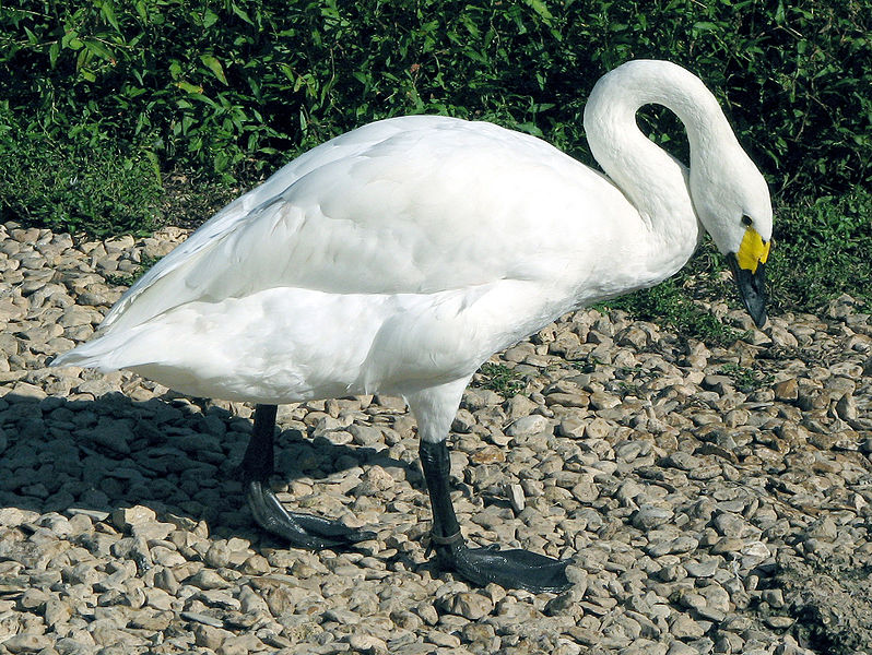 798px-Bewicks.swan.sideon.arp.jpg