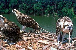 250px-Fischadler_Nest.jpg