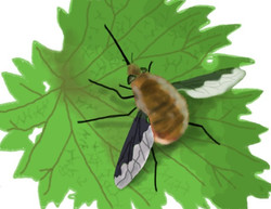 fauna bee fly