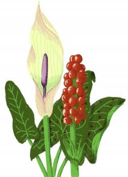flora cuckoo pint