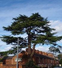 Tree 7 Cedar of Lebanon.jpg