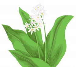 flora wild garlic