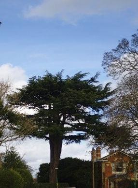 Tree 18 Cedar Tree.jpg
