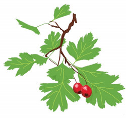tree hawthorn