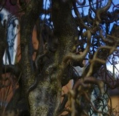 Tree 20 Corkscrew Hazel.jpg
