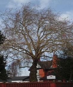 Tree 4 London Plane.jpg