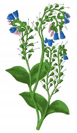 flora comfrey