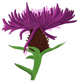 flora knapweed