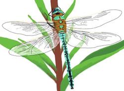 fauna dragonfly