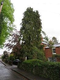 Tree 9 Lawson Cyprus.jpg