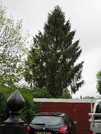 Tree 11 Norway Spruce.jpg