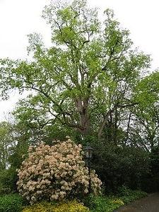 Tree 16 Tulip Tree.jpg