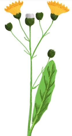 flora hawk weed
