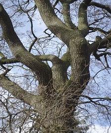 Tree 21 English Oak.jpg