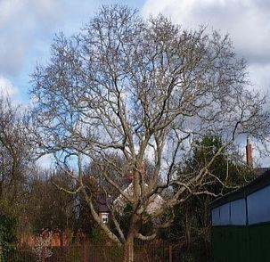 Tree 8 Common Walnut.jpg