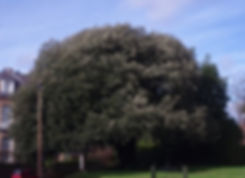 Tree 13 Holm Oak.jpg