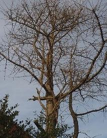 Tree 19 Ginkgo Biloba.jpg