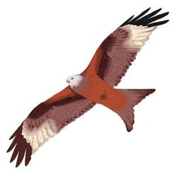 fauna red kite