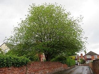Tree 12 Goats Willow.jpg