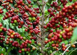 como-plantar-café
