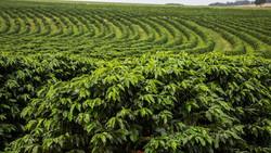 cafe-plantacao2