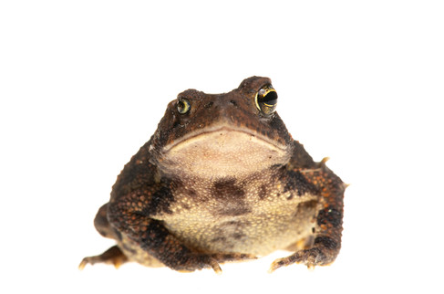 Eastern American Toad (Anaxyrus americanus)