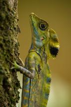Great Angle-Head Lizard (Gonocephalus grandis)