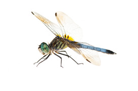 Blue Dasher (Pachydiplax longipennis), Male