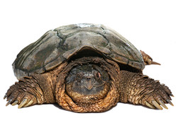 Common Snapping Turtle (Chelydra serpentina)