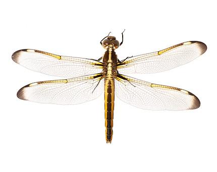 Yellow-sided Skimmer (Libellula flavida), Female