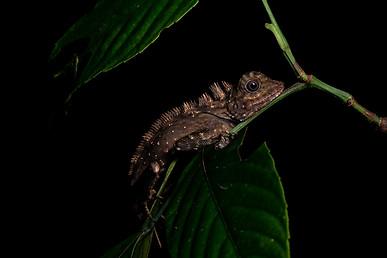 Borneo Angle-Head Lizard (Gonocephalus bornensis)