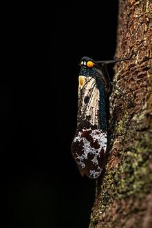 Lantern bug (Penthicodes farinosa)