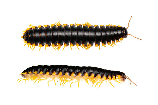 Yellow-and-black Flat Millipede (Apheloria tigana)
