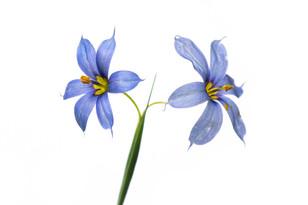 Narrow-leaf blue-eyed grass (Sisyrinchium angustifolium)
