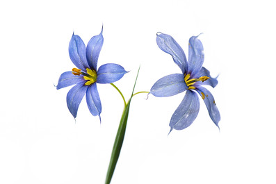 Narrow-leaf blue-eyed grass (Sisyrinchium angustifolium)
