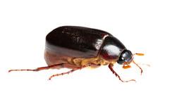 May Beetle (Phyllophaga sp.)