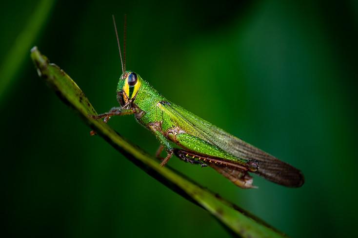 grasshoper sp.