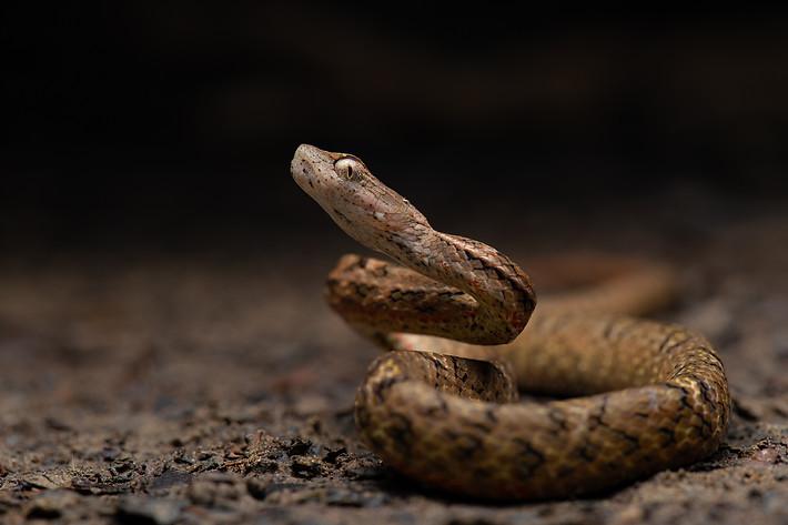Painted Mock Viper (Psammodynastes pictus)