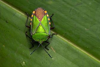 Red Stink Bug (Pycanum rubeus), adult