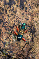 Iridescent Bark Mantis (Metallyticus splendidus), nymph