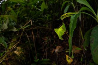 Leaf-legged Katydid (Eulophophyllum lobulatum), nymph
