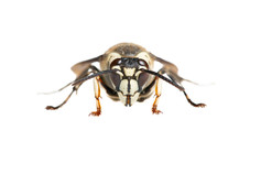 White-faced Hornet (Dolichovespula maculata)